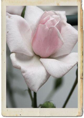 Roses framed 3