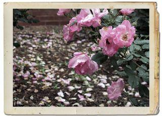 Roses framed 1