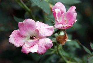 Roses 2 7-14