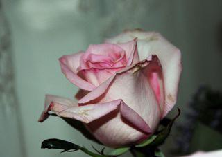 Rose 2nd